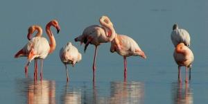 Aruba-flamingo-beach-birds-sea
